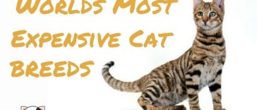 most expensive cat breeds exotic wild cats